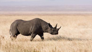 Photo of Rare black rhinos relocated to Tanzania in Serengeti repopulation plan