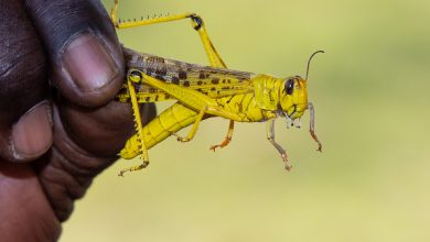 Photo of Namibia needs $1.8 million to fight locust outbreak