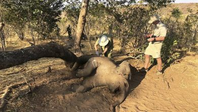 Photo of Zimbabwe elephants died from bacterial disease, say experts