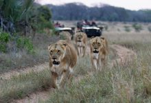 Photo of Uganda launches virtual Safari to kick-start tourism sector