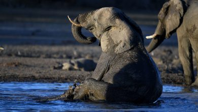 Photo of 330 elephants in Botswana may have died from toxic algae