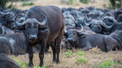 Photo of For sale: 100 Namibian buffalos, buyers must 'bear all risks'