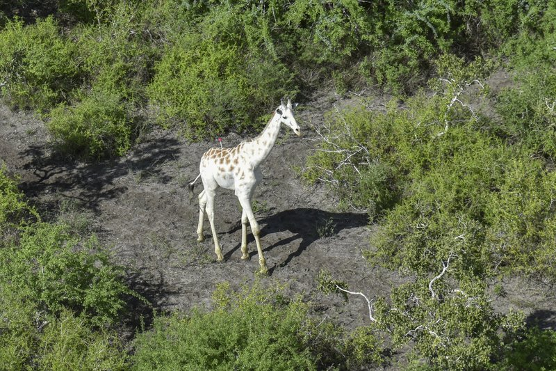 Photo of World's last known white giraffe gets GPS tracking device