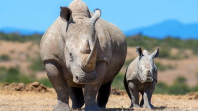Photo of Kenya implants microchips in rhinos to fight poaching