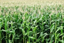 Photo of Zimbabwe expects maize output to more than triple this year